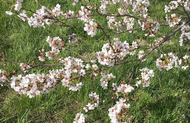 桜を求めて2018